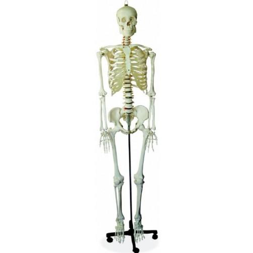 Človeško okostje  naravna velikost / okostnjak
