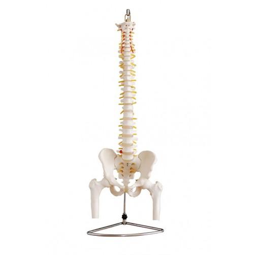 Hrbtenica v naravni velikosti z medenico in epifizama femurja